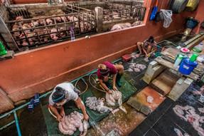 ¿Sorprendido con las fotos de la matanza del cerdo en Tailandia? Lo mismo ocurre en América Latina