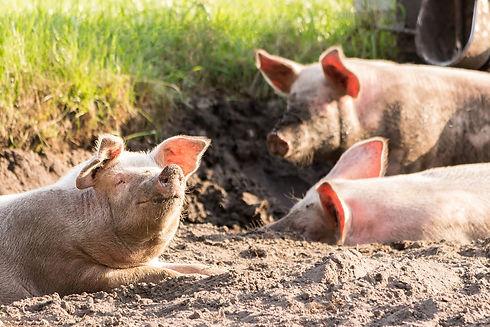 pigs-4028140_1920.jpg