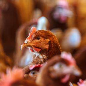 Tren telur bebas kandang melanda Indonesia