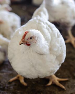 Inspire Brands ประกาศเจตนารมณ์ใช้ไข่ไก่จากฟาร์มปลอดกรงขังทั่วโลก