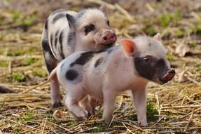 Arcos Dorados incentiva gestación grupal de cerdos
