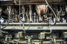 Los mayores productores de leche emiten tantos gases de efecto invernadero como todo el Reino Unido