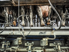 Maiores produtoras de leite emitem tanto gases de estufa quanto Reino Unido
