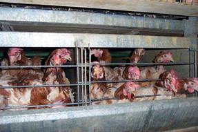 El estado de Oregón producirá y venderá solamente huevos libres de jaulas