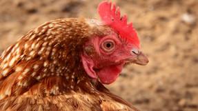 เบอร์เกอร์คิงประกาศนโยบายไข่ไก่ไร้กรงขัง หลังจากเจรจาพูดคุยกับซิเนอร์เจีย แอนิมอลกว่าหนึ่งปี