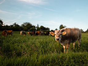 """Cows can """"say"""" how they feel to others, reveals study"""