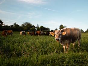 """Vacas podem """"dizer"""" a outras como se sentem, mostra estudo"""