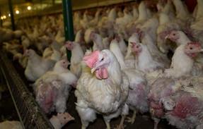 Virus yang muncul dari peternakan ayam dapat 'memusnahkan' setengah populasi manusia, para ahli memp