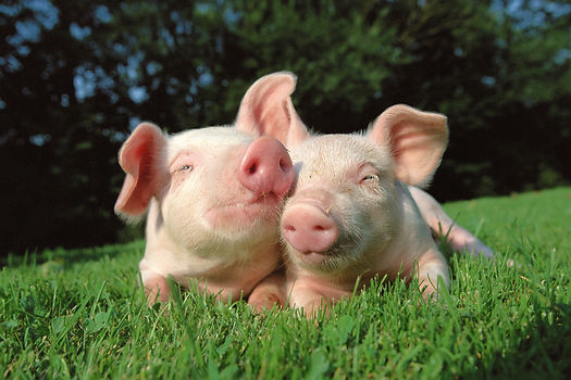 cute-pet-pig-names.jpg