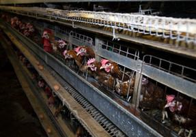 Unión Europea planea dificultar importaciones de huevos producidos en jaulas