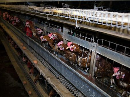 União Europeia planeja dificultar importações de ovos produzidos em gaiolas