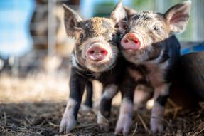 Sinergia Animal terpilih sebagai Standout Charity 2020 oleh ACE