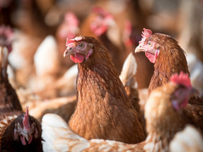 Burger King becomes the first fast food chain to go cage-free in Indonesia