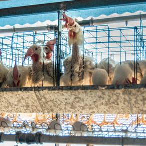 Nicolás Pauls hace llamamiento contra la producción de huevos en Argentina