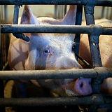 pigs-in-industrial-breeding-poland-010_3