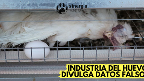 Sector avícola ataca la investigación de Sinergia Animal con afirmaciones contradictorias y erróneas