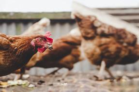 Colorado es el octavo estado de EE. UU. en prohibir las jaulas para gallinas ponedoras