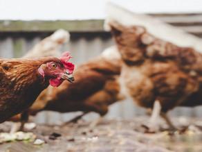 Colorado é o oitavo estado dos EUA a proibir gaiolas para galinhas poedeiras