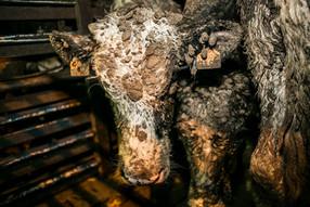 32 bovinos mueren en un barco encallado en Chile, probando las terribles condiciones de transporte d