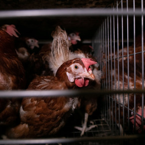 Acclaimed documentary photographer exposes the cruelty behind egg production in Thailand
