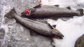 5 alasan mengapa budidaya ikan sama buruknya dengan penangkapan ikan di alam liar