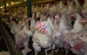 Aquellos virus que emergen de granjas avícolas pueden aniquilar a la mitad de la humanidad, alertan