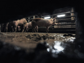 Resistant bacteria in industrial livestock kill more than coronavirus, alerts NGO