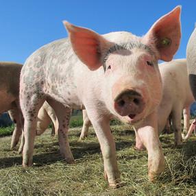 Subway anuncia el fin del confinamiento en jaulas para cerdos y aves en América Latina