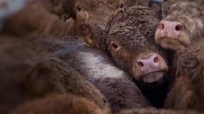 Por que la exportación de ganado vivo es terrible para los animales