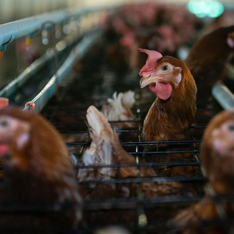 Thai Egg Farms