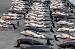 ไอซ์แลนด์จะไม่ล่าวาฬเป็นครั้งแรกในรอบ 17 ปี