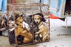 สุนัขกว่า 15,000 ตัวจะถูกฆ่าภายในสิ้นเดือนนี้ ในงานเทศกาลเนื้อสุนัขเมืองหยูหลิน