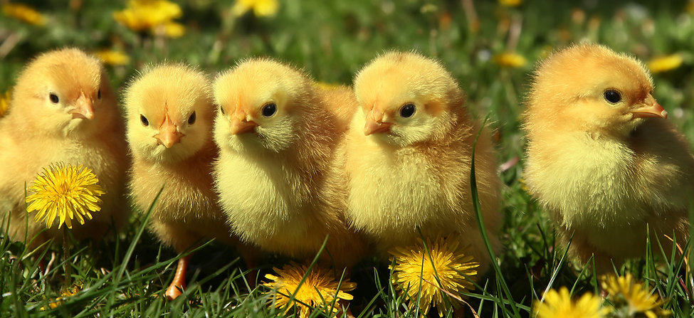 Five cute yellow chicks in colorful dand
