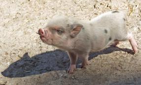 Gastronomía y Negocios se compromete a mejorar el bienestar animal en su cadena de abastecimiento de