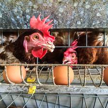 Peruvian egg farms