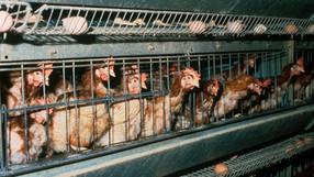 Grupo Bimbo sólo usará huevos de gallinas 'libres'