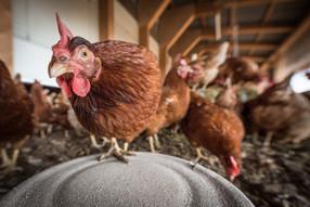 บริษัท ฟู้ดแพชชั่น จำกัดประกาศนโยบายใช้ไข่จากฟาร์มปลอดกรงในไทย