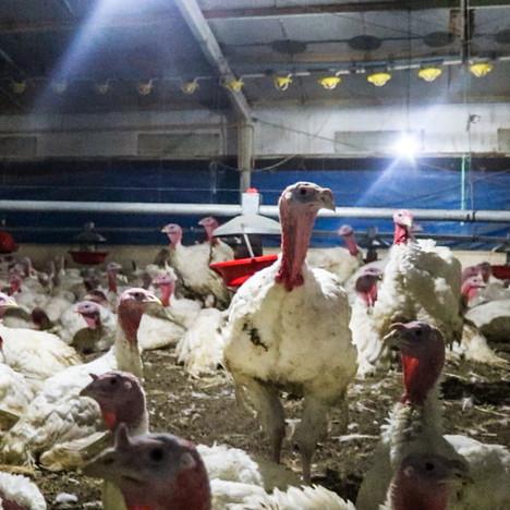 Chilean turkey farms