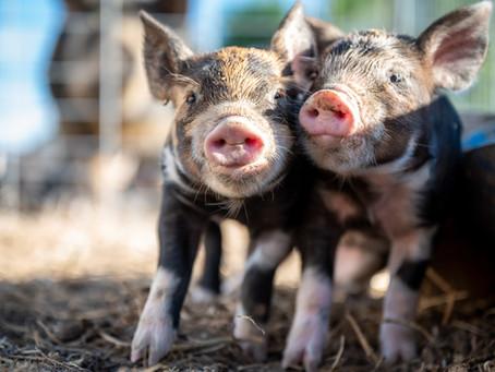 Sinergia Animal é eleita Standout Charity de 2020 pela ACE