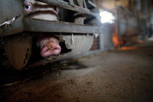 pigs-in-industrial-breeding-3_3944700250