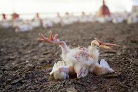 Cinco medios de comunicación destacan vínculo entre la pandemia y la ganadería industrial
