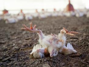 5 dos maiores jornais do mundo destacam relação produção animal e pandemia