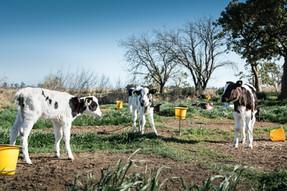 Nueva investigación expone la crueldad hacia los terneros en tambos argentinos