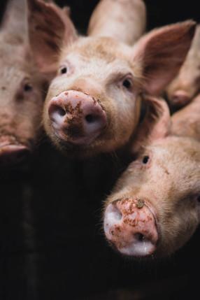 """La ONU pide """"vigilancia global"""" sobre nuevo virus descubierto en un matadero de cerdos en"""