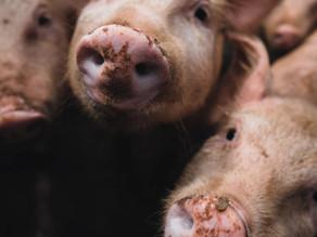 """ONU pede """"vigilância global"""" sobre novo vírus em matadouro de porcos no Brasil"""