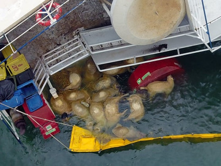 Navio transportando 14 mil ovelhas vivas tomba no mar Negro