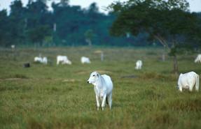17% de las exportaciones de carne vacuna de Brasil hacia la Unión Europea, proviene de la deforestac