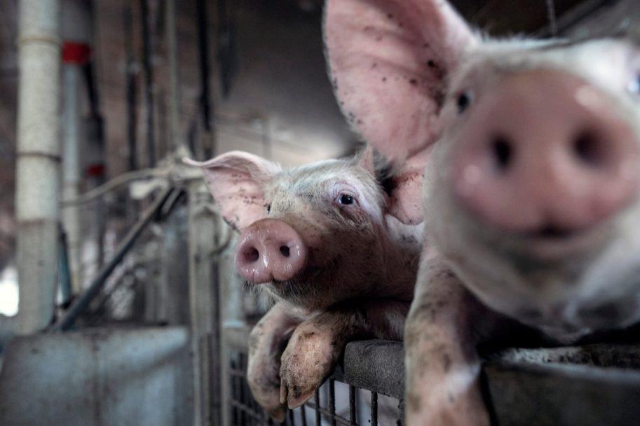 pigs-in-industrial-breeding_2019-14_3327