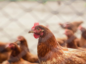 Autogrill HMSHost announces cage-free commitment in Indonesia