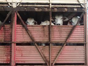 Colombia inicia transporte de 21 mil bueyes vivos hacia Irak en medio de críticas